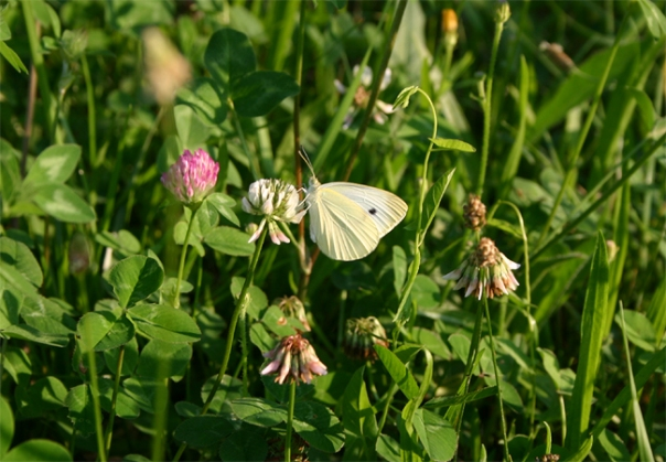 white butterfly on wild flowers